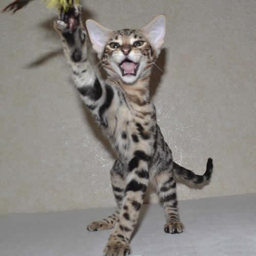 f2-savannah-kittens-zinag1ada