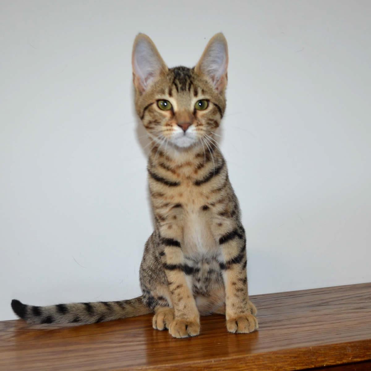 Savannah Cats and Bengal Cats Make Bad Pets | Big Cat Rescue