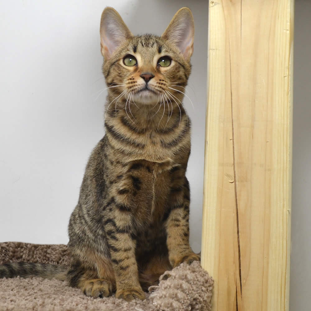 f5-savannah-kittens-nellyg12111b