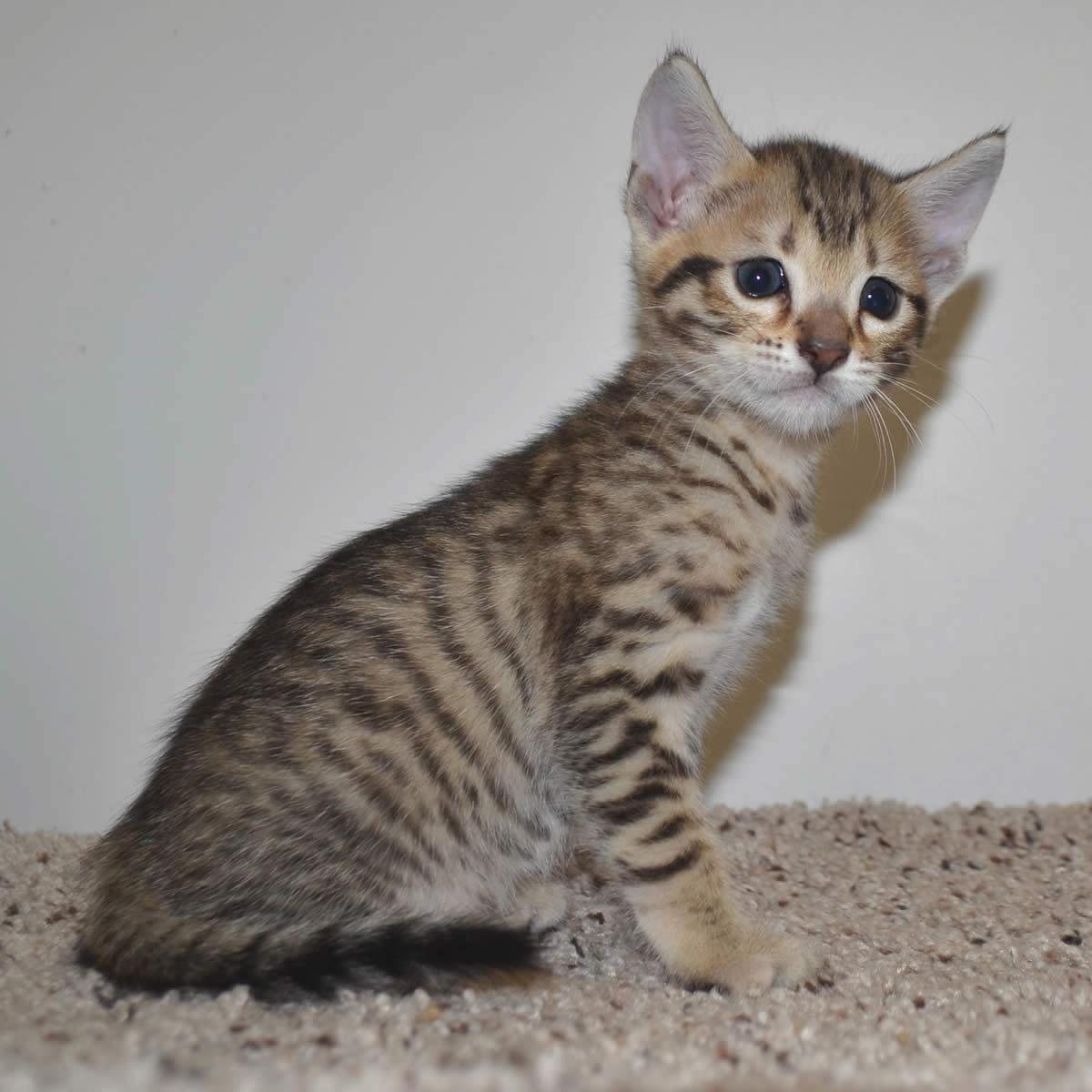 short tail cat breeds