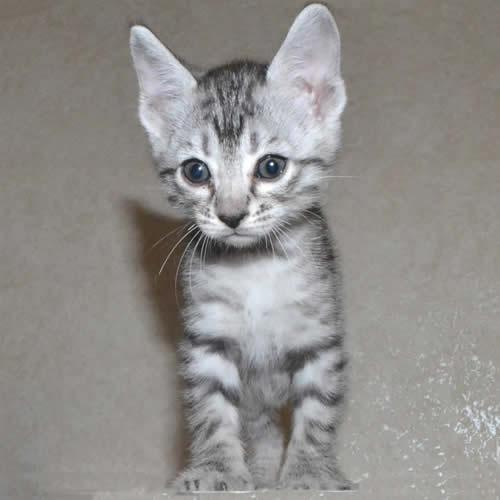 f7-savannah-kittens-shsc