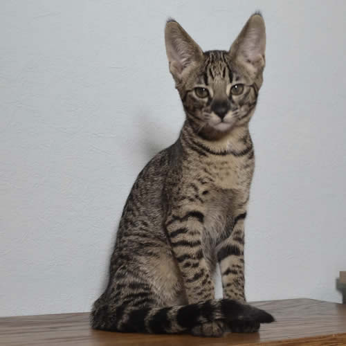 savannah-kittens-for-sale-hp