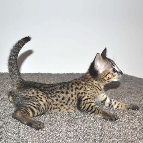 savannah-kittens-hp1b