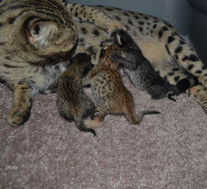 F2-savannah-kittens-nadi9-27a