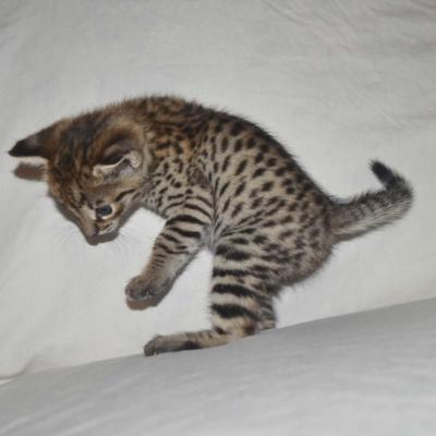 Savannah Cats For Sale Cheap Ohio