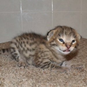 F2 Savannah Kittens leg100117b1c