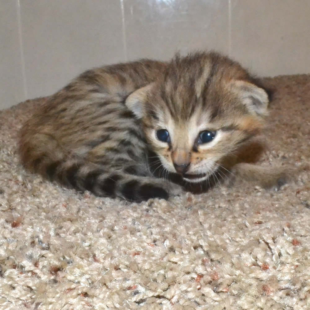 F2 Savannah Kittens leg100117g1a