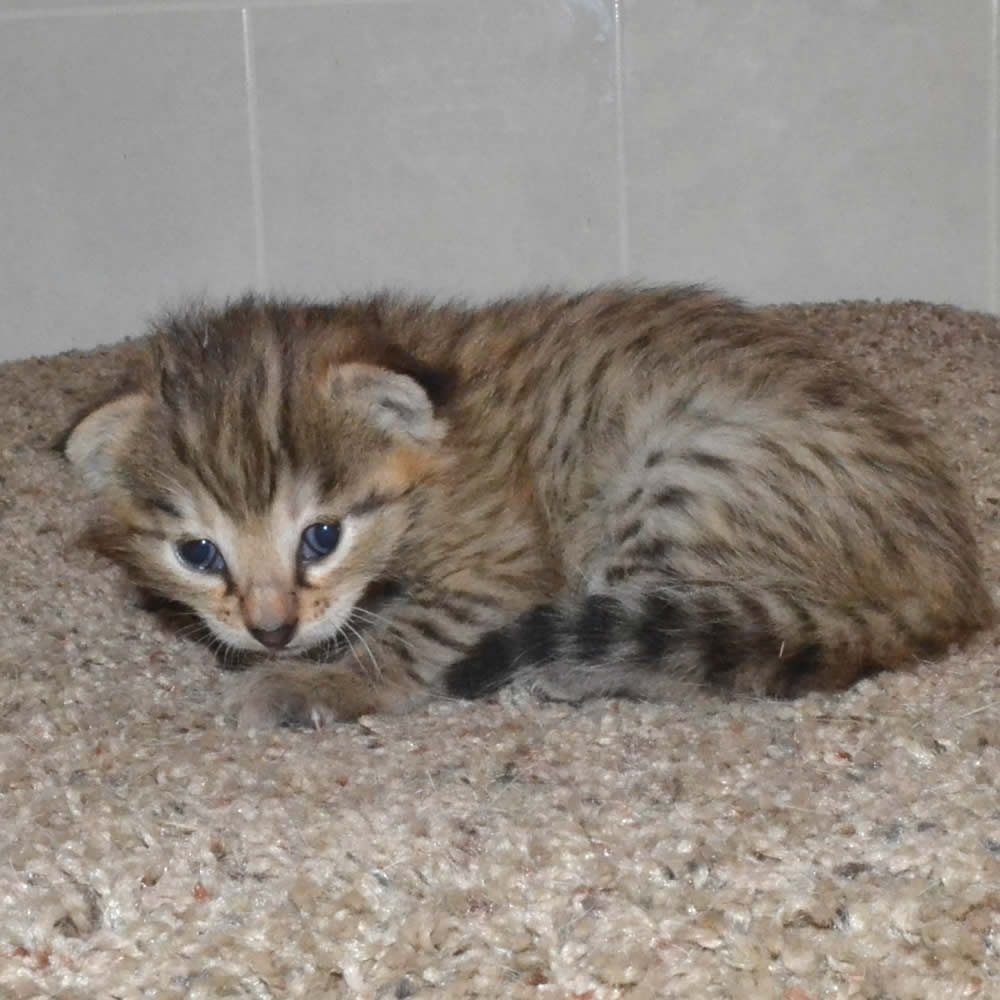 F2 Savannah Kittens leg100117g1b
