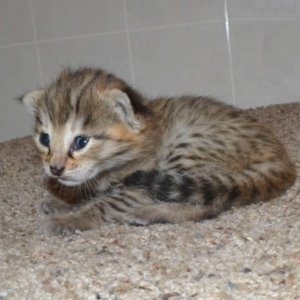 F2 Savannah Kittens leg100117g1c