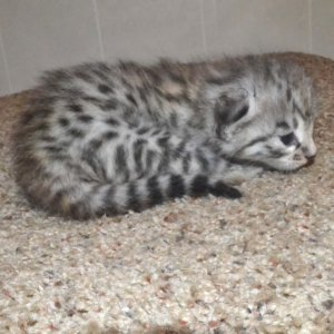 F2 Savannah Kittens leg100117g2d
