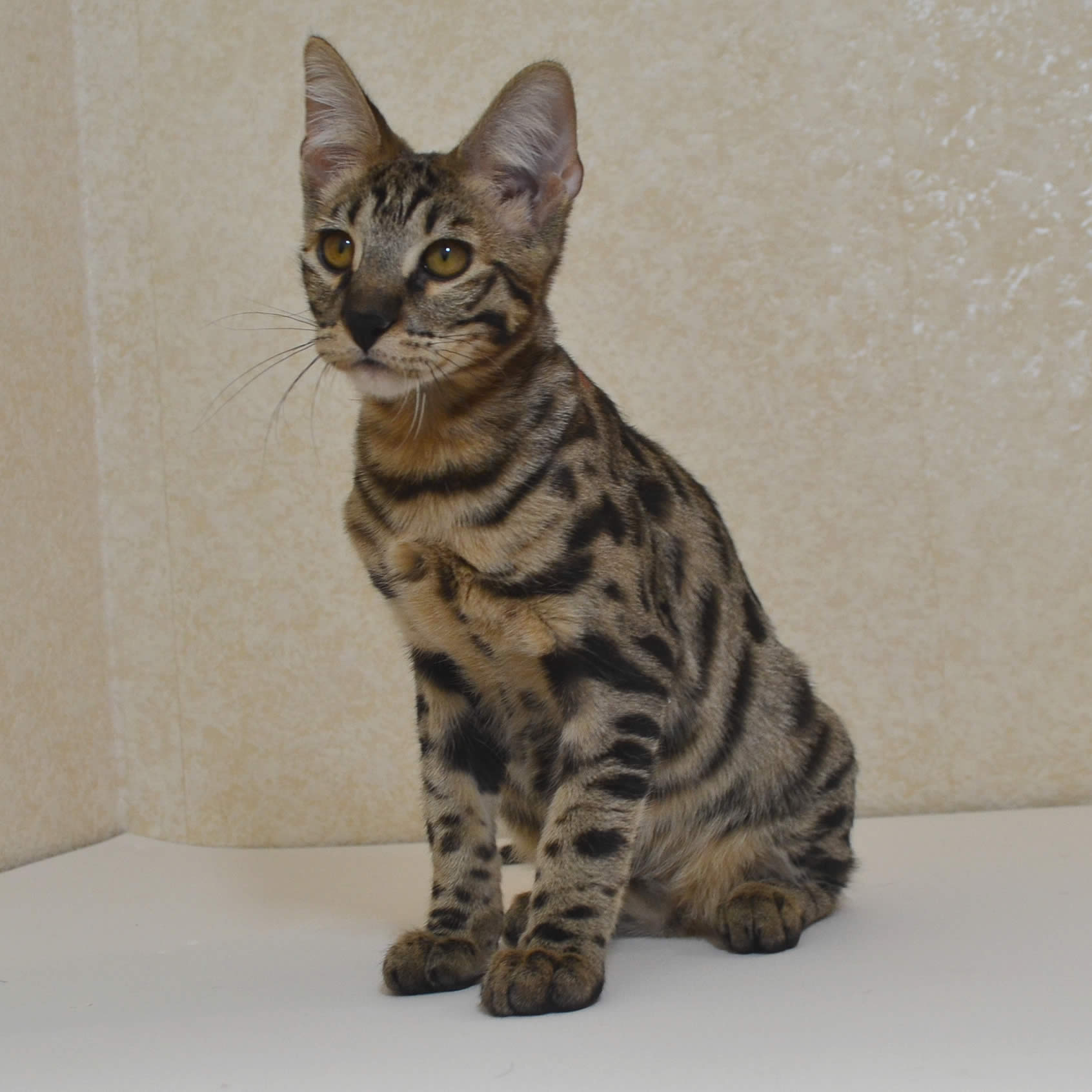 cat breeds with folded ears