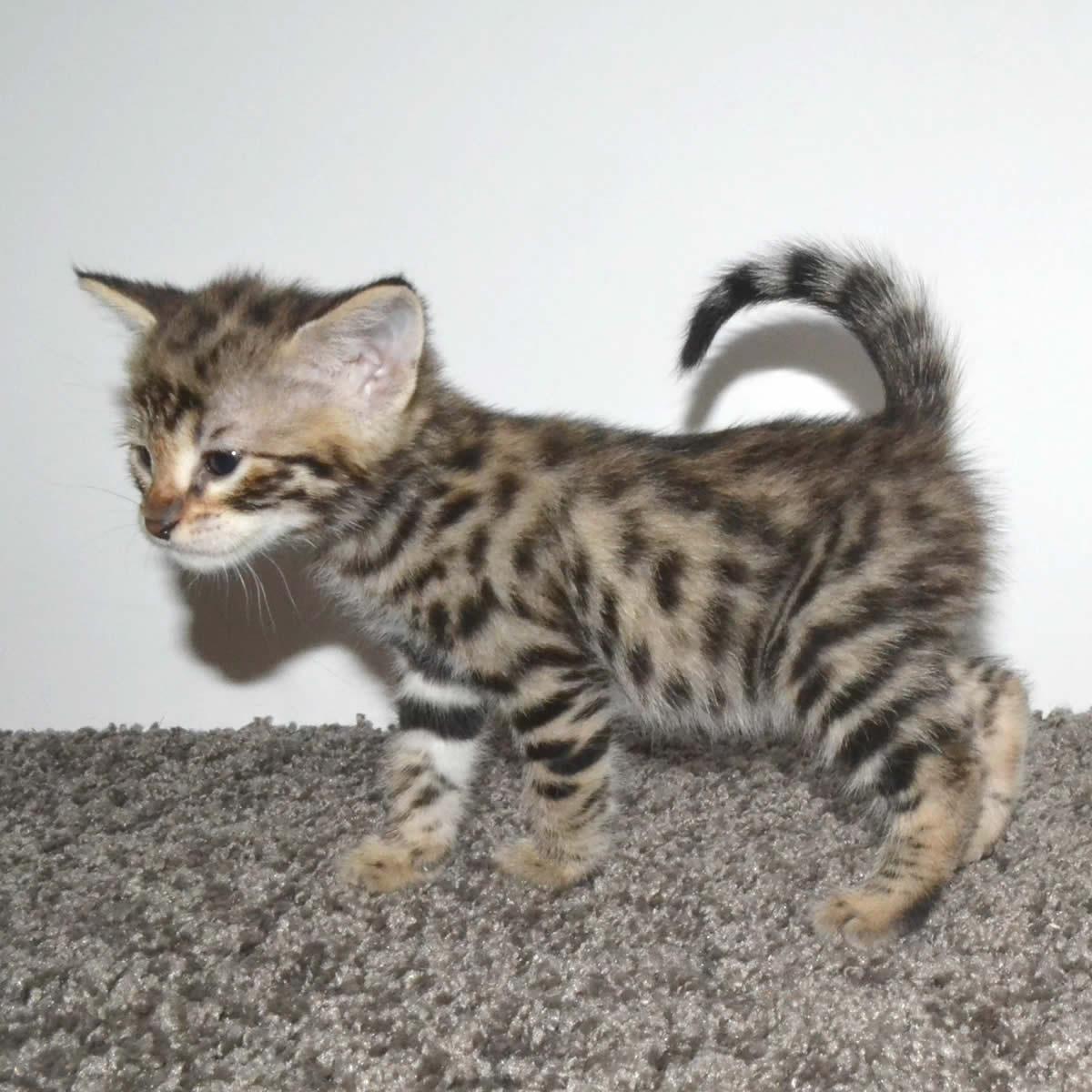 100 [ Savannah Cat Breed Rescue ]