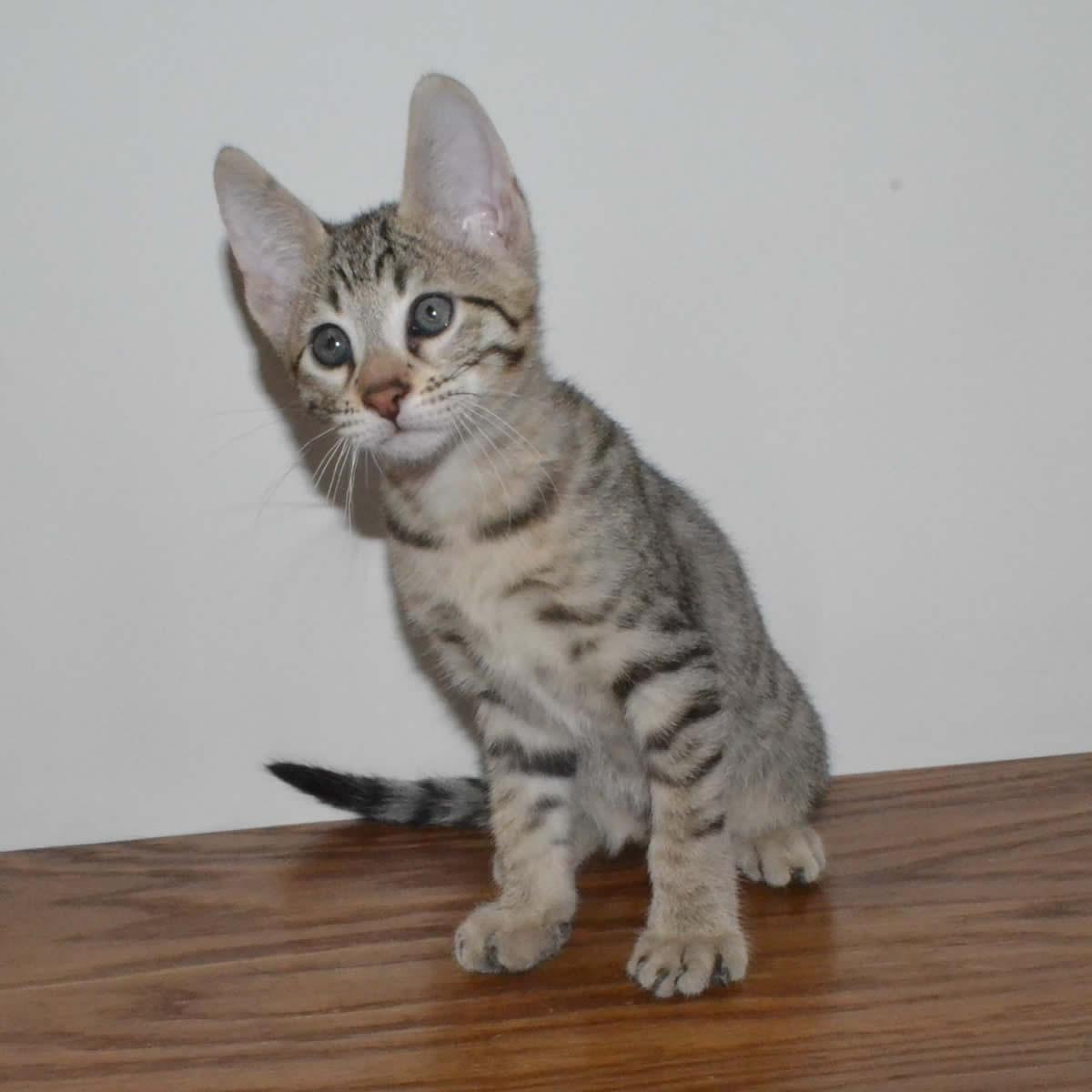 F6-Savannah-kittens-vb11b