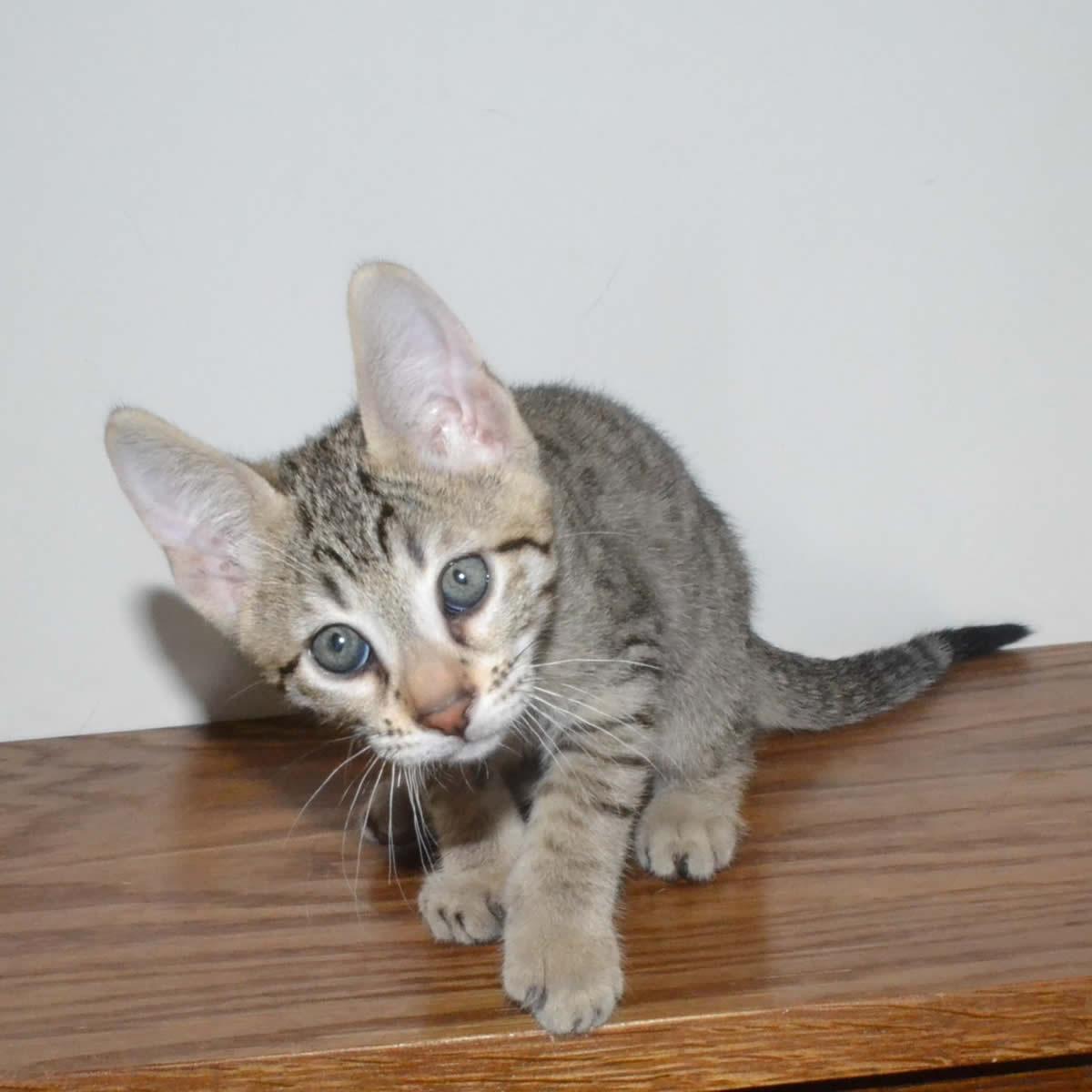 F6-Savannah-kittens-vb11c