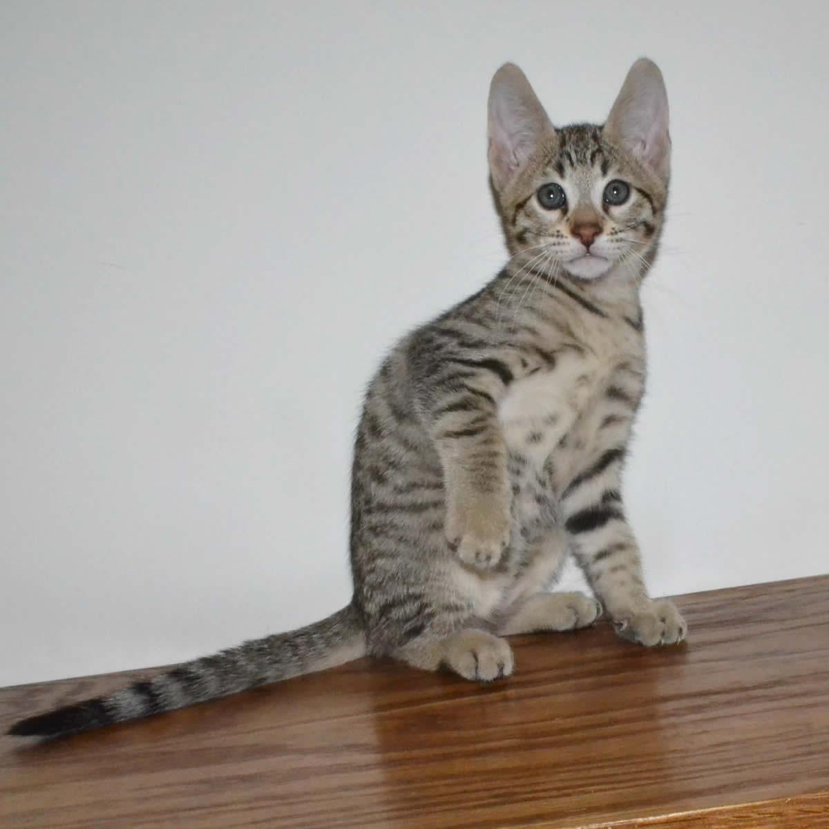 F6-Savannah-kittens-vb11d