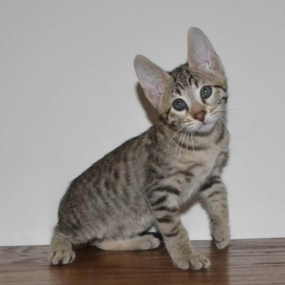 F6-Savannah-kittens-vb11f