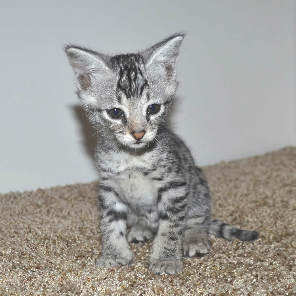 f2-savannah-kittens-tb0901a