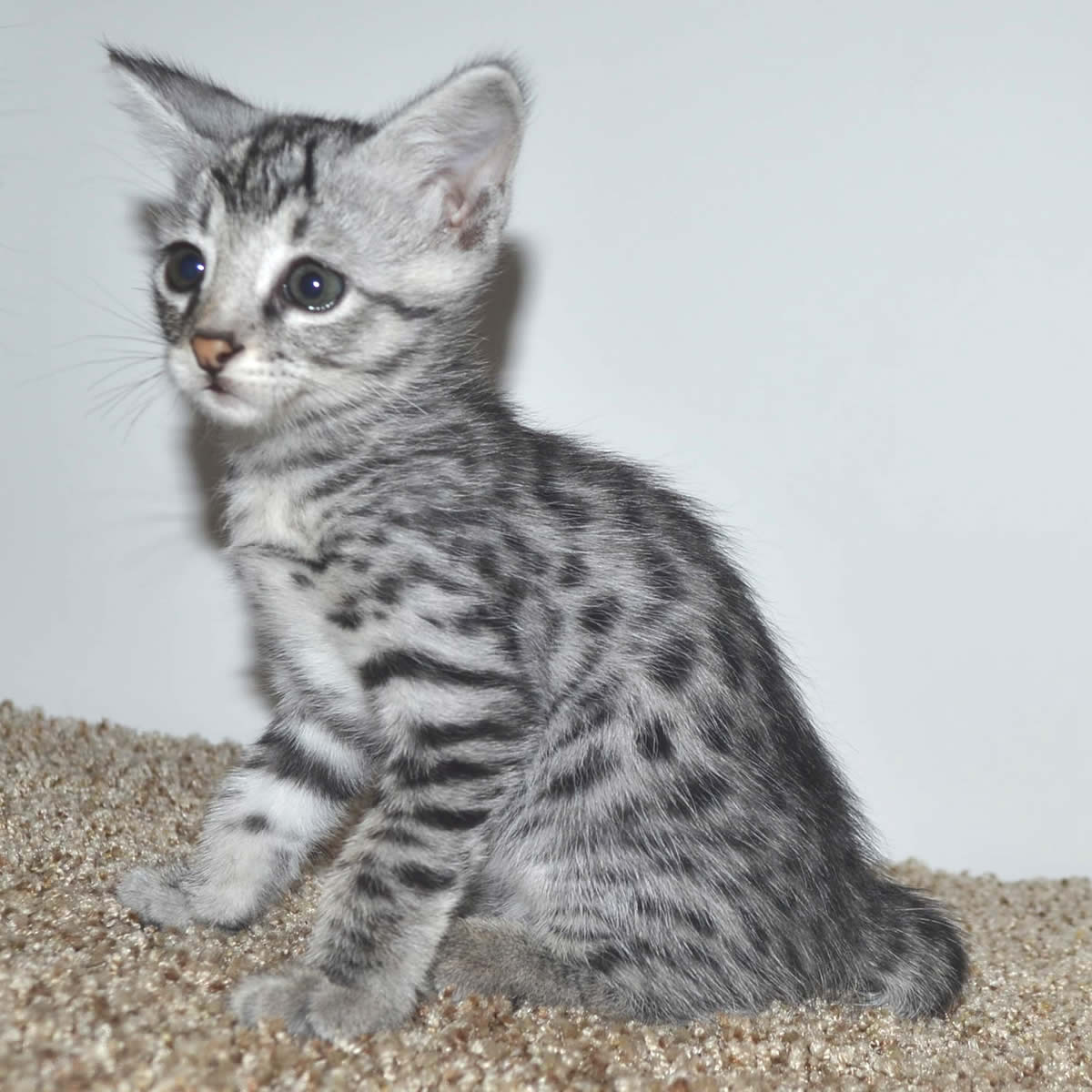 f2-savannah-kittens-tb0901d