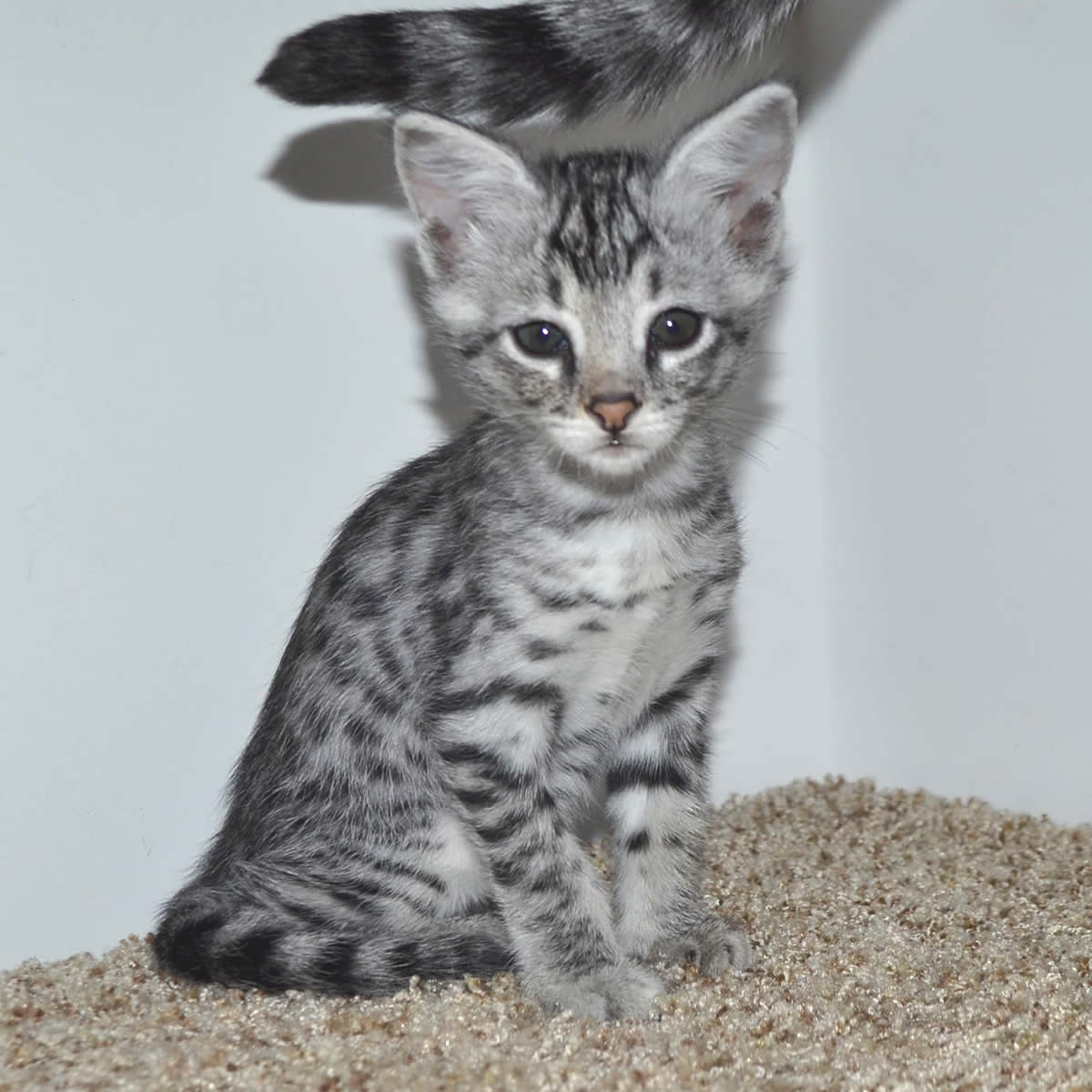 f2-savanna-kittens-tb0901e