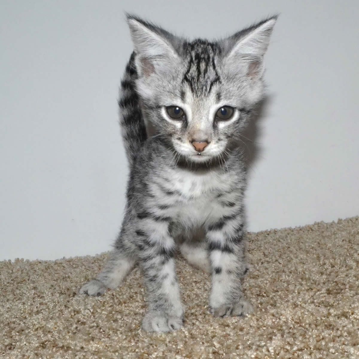 f2-savannah-kittens-tb0901f.jpg