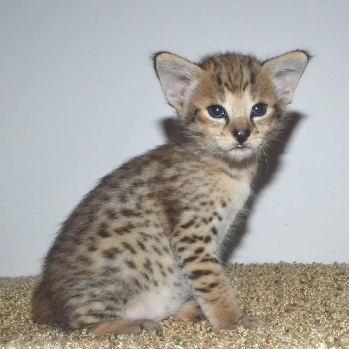 F Savannah Cat Video
