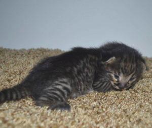 f2-savannah-kittens-nadif2c