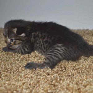 f2-savannah-kittens-nadif2d