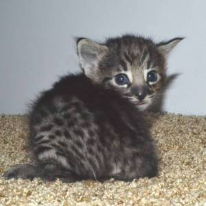 f2 savannah kittens nadif2g