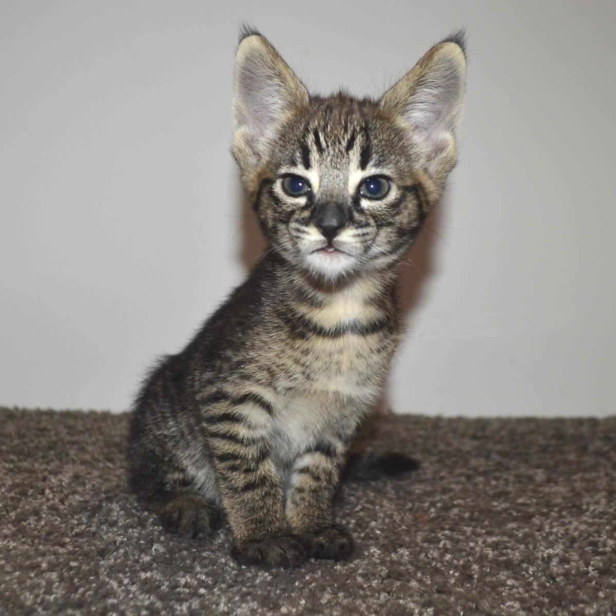 Kittens For Sale Illinois
