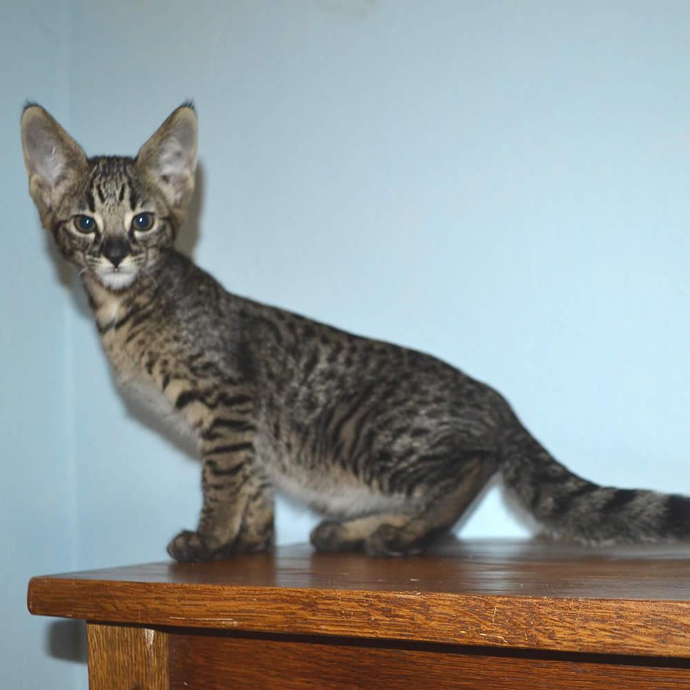 f2-savannah-kittens-nadif2nsb