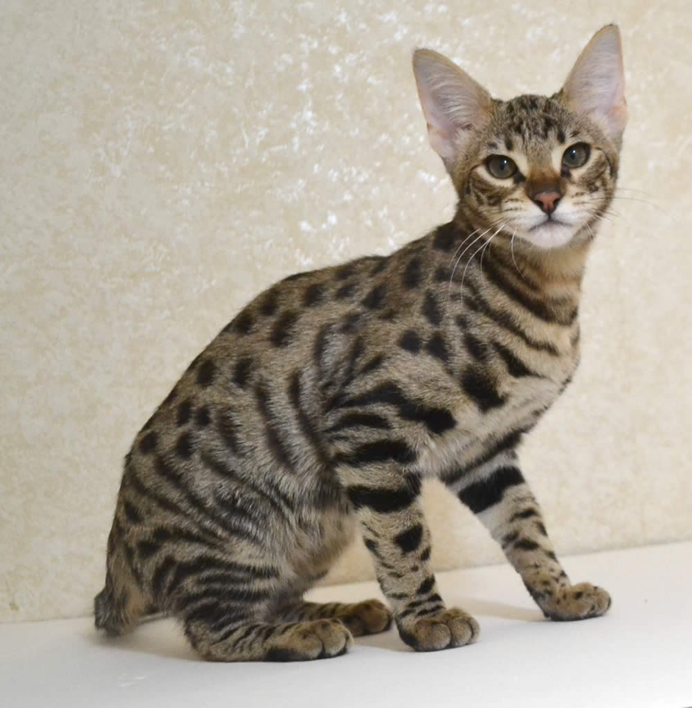 Savannah F Cat For Sale Ohio