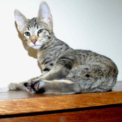 F6-Savannah-kittens-vb11aa