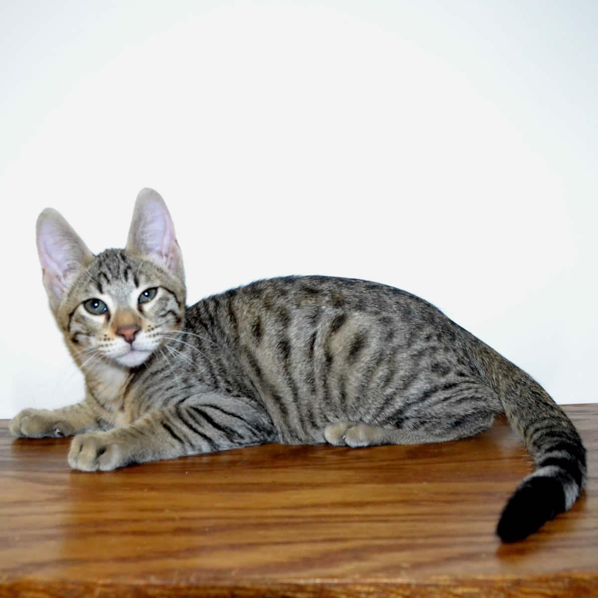 F6-Savannah-kittens-vb11af