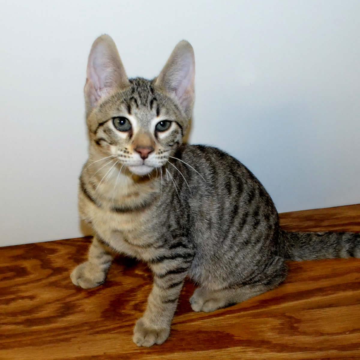 F6-Savannah-kittens-vb11ag