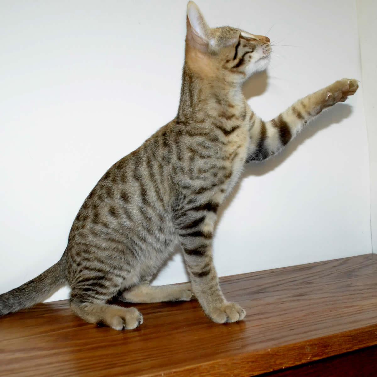 F6-Savannah-kittens-vb11ah