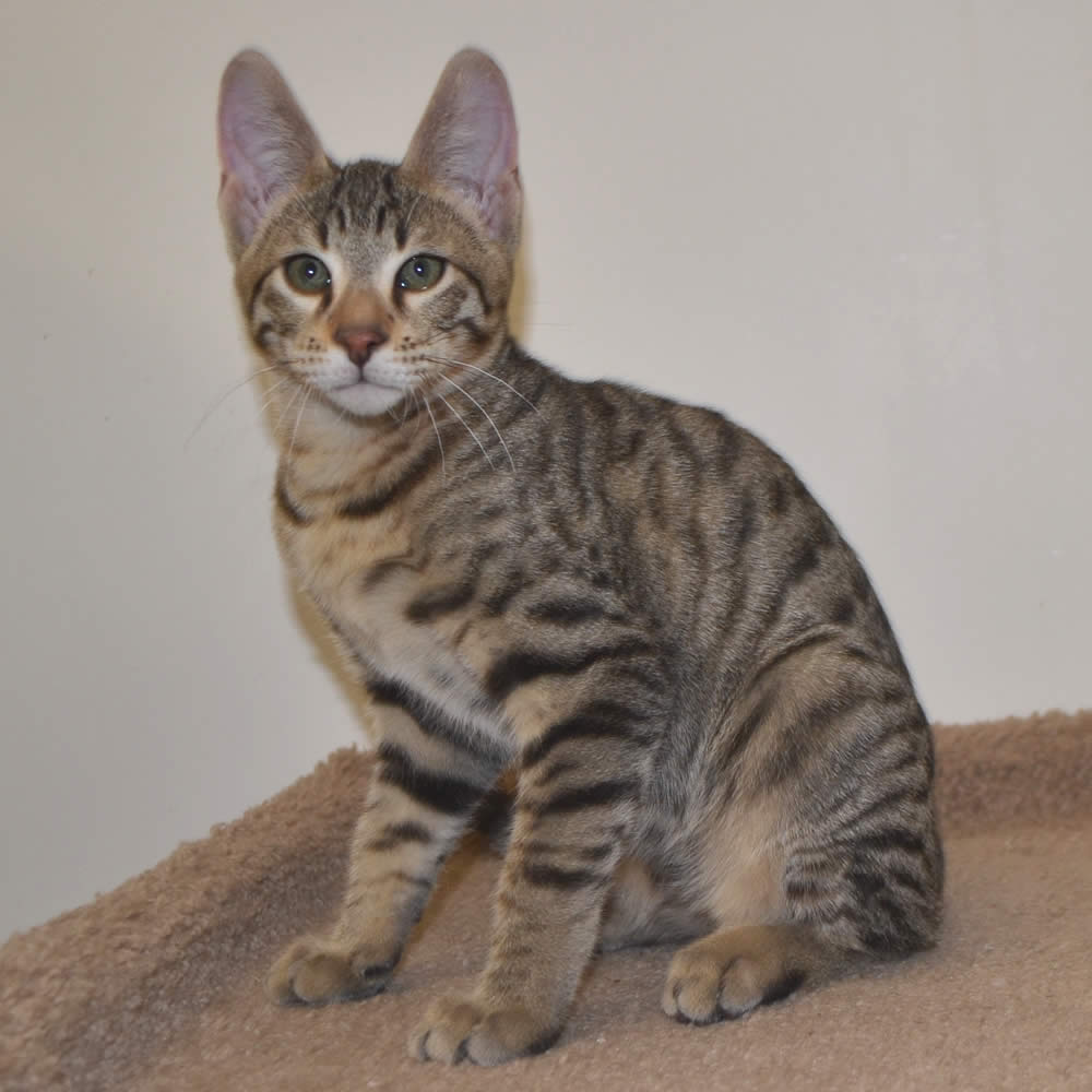 savannah cats Savannah rescue is a volunteer service headed up by two savannah breeders, kristine alessio and brigitte cowell, with an additional core group of volunteers we take.