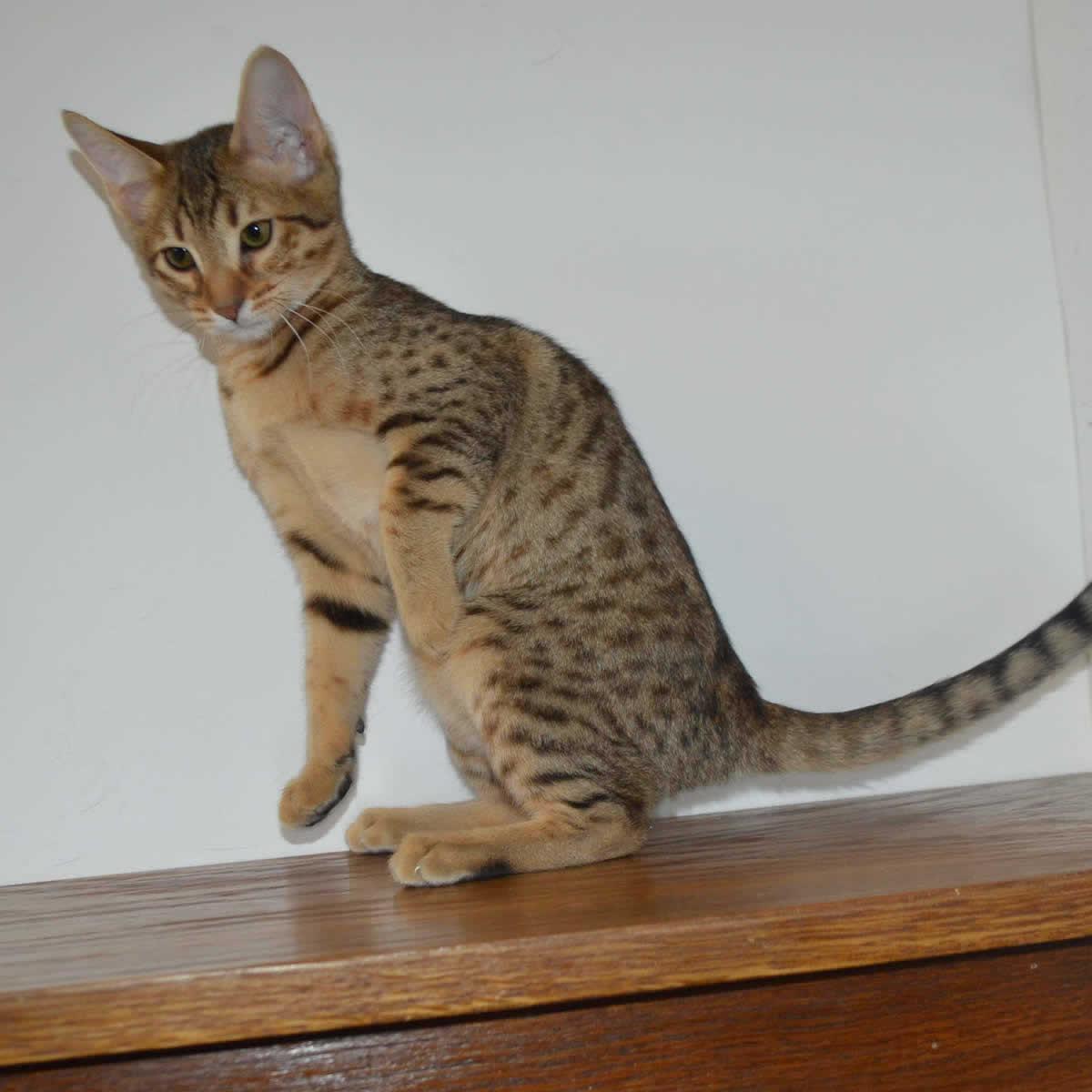 f5-savannah-kittens-nelg2a