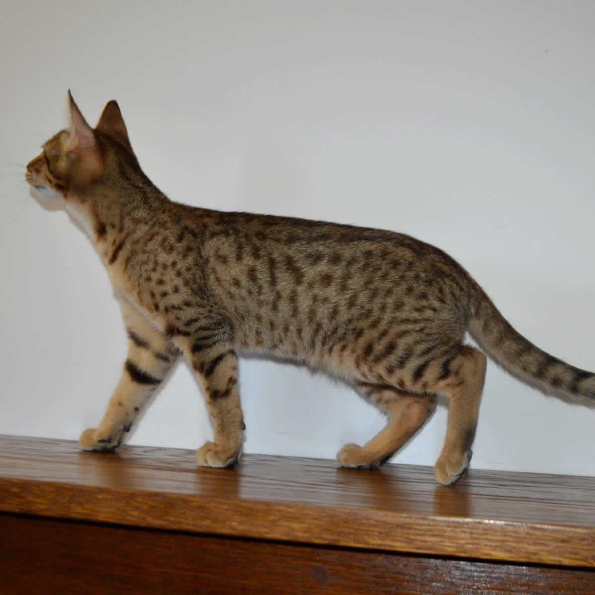 f5-savannah-kittens-nelg2b