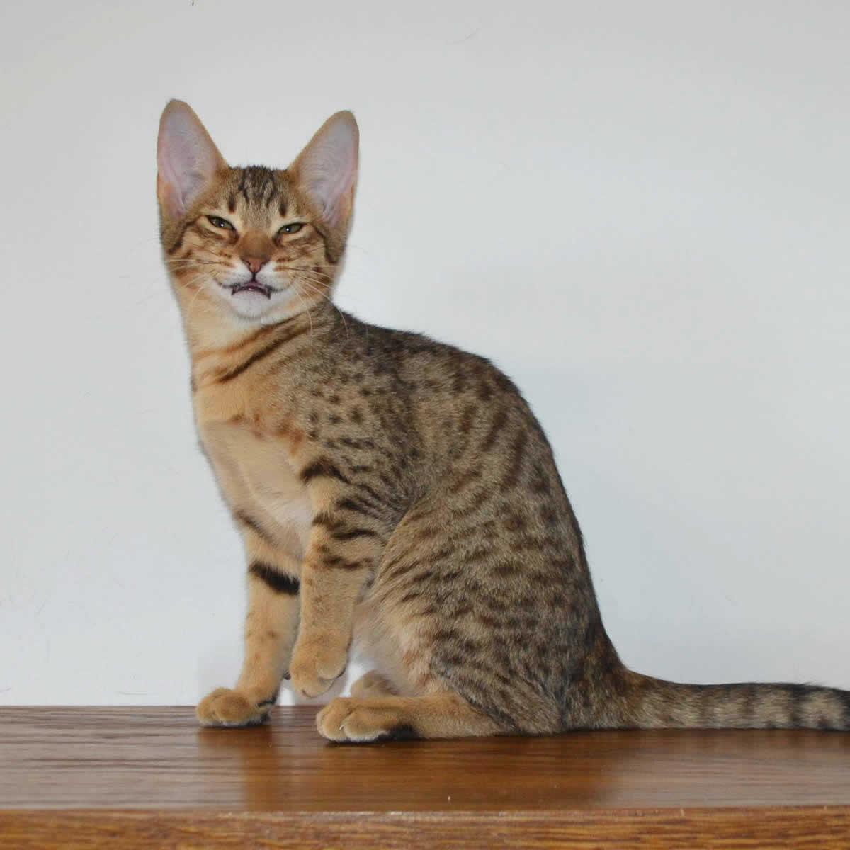 f5-savannah-kittens-nelg2d