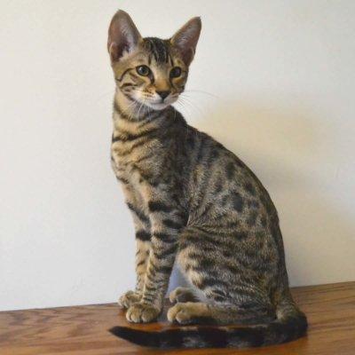 f7-savannah-kittens-g207-26kzha