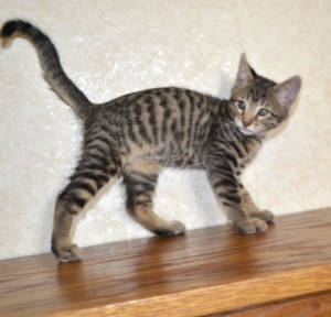 f7-savannah-kittens-shadb2a1