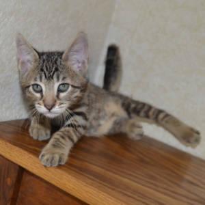 f7-savannah-kittens-shadb2a2