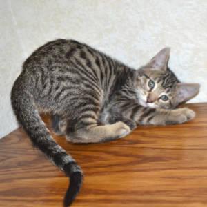 f7-savannah-kittens-shadb2a3
