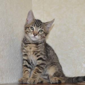 f7-savannah-kittens-shadb2a5