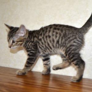 f7-savannah-kittens-shadb2a6