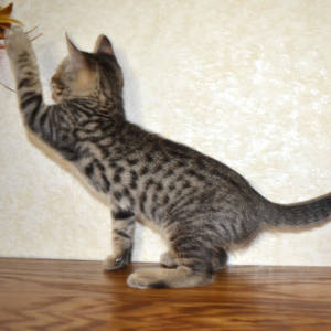 f7-savannah-kittens-shadb2a7