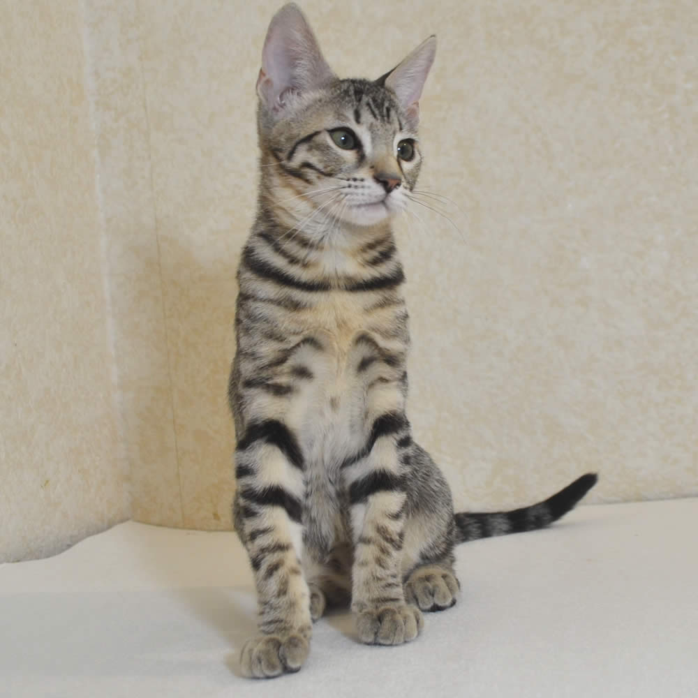 Savannah Cat Michigan For Sale