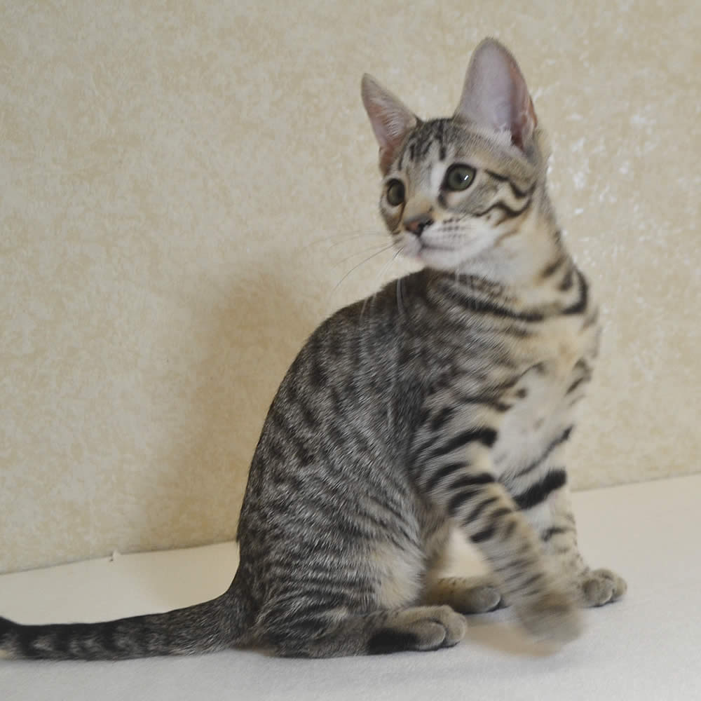 f7-savannah-kittens-shg