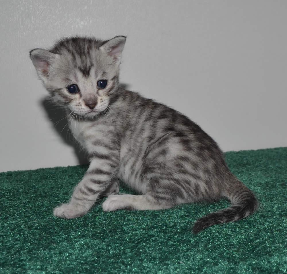 F6 Savannah Kittens For Sale Amanukatz Savannah Cats Ohio