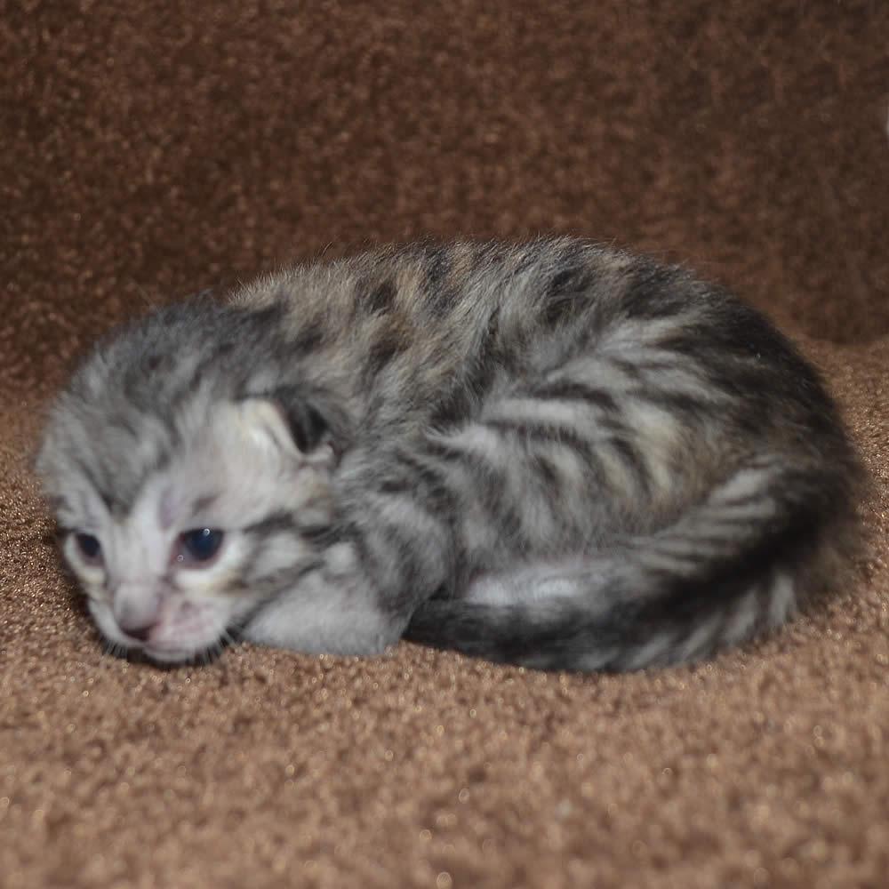 orange cat blue eyes